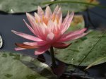 TR water lily